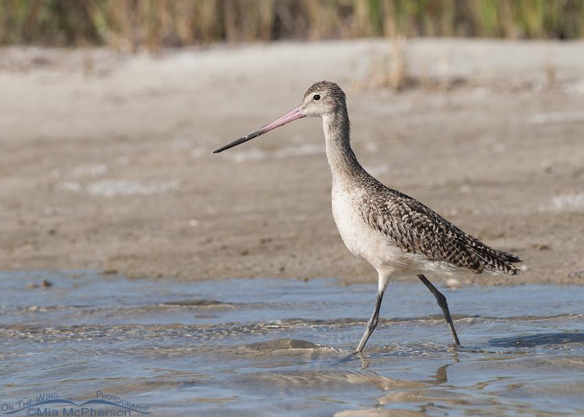 Marbled Godwit walking through lagoon