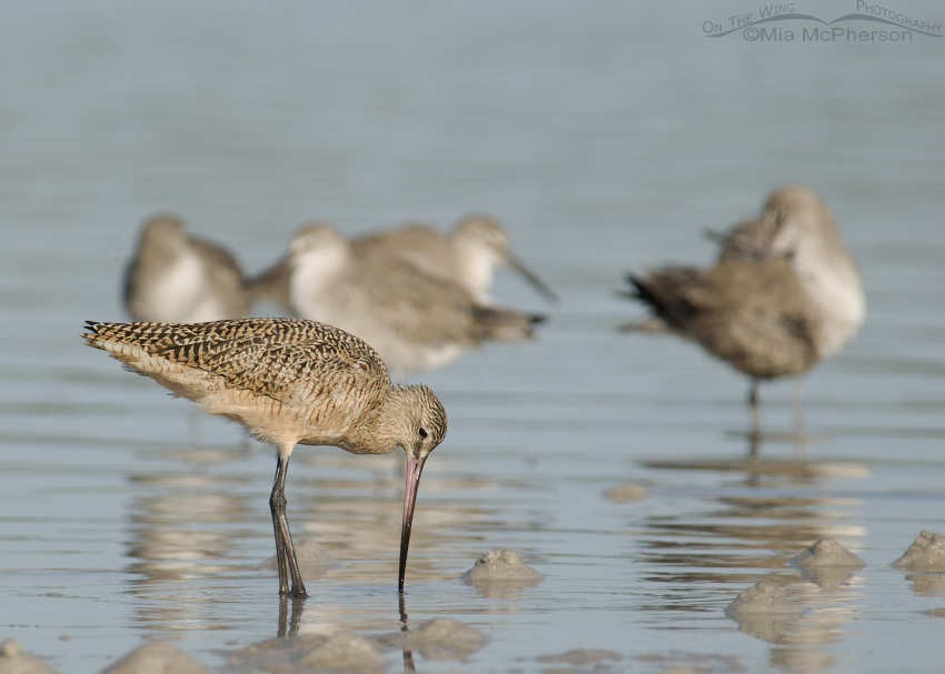 Foraging Marbled Godwit on exposed mudflats