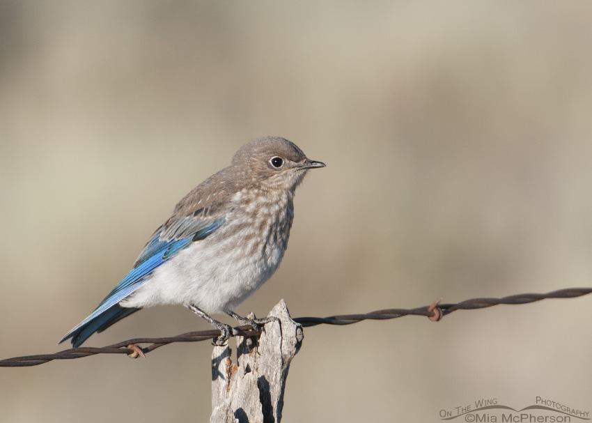 Centennial Valley juvenile Mountain Bluebird