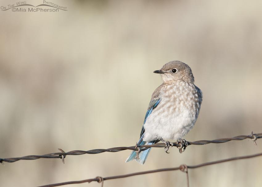Perched juvenile Mountain Bluebird