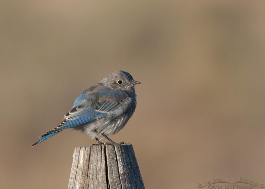Juvenile male Mountain Bluebird molting into basic plumage