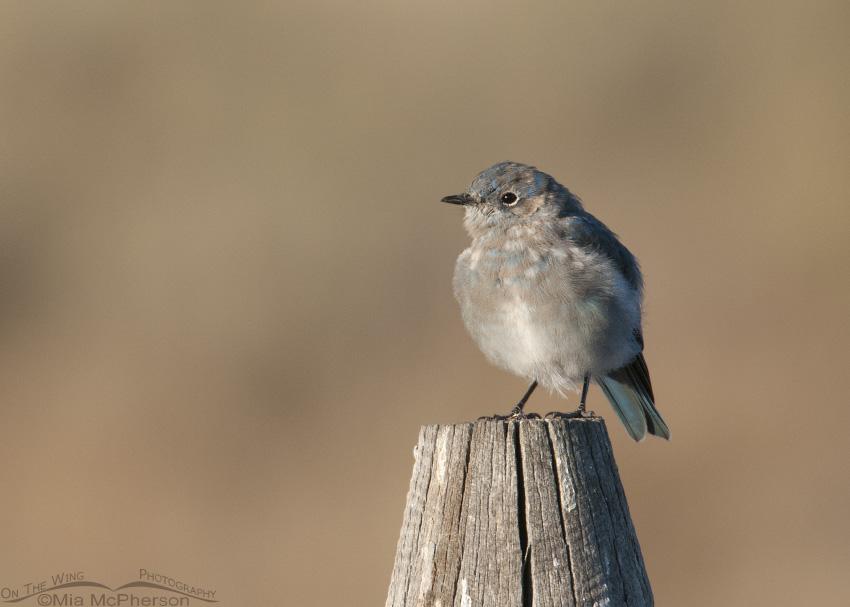 Molting juvenile male Mountain Bluebird