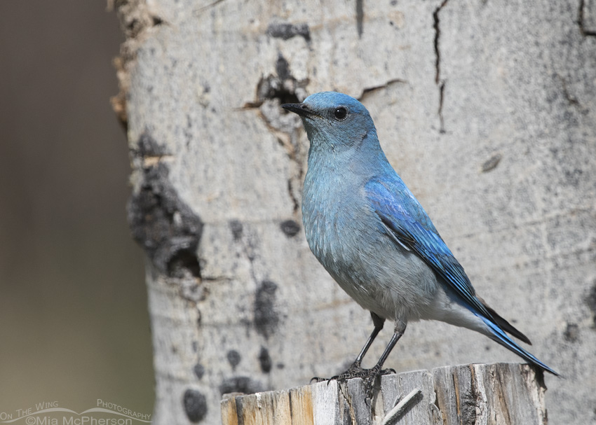 Clark County Male Mountain Bluebird