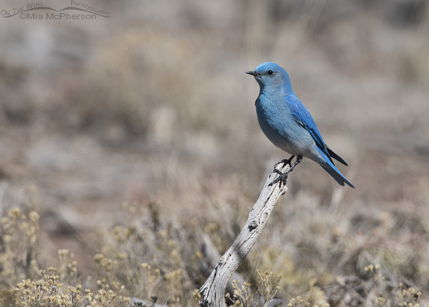Wayne County Mountain Bluebird male