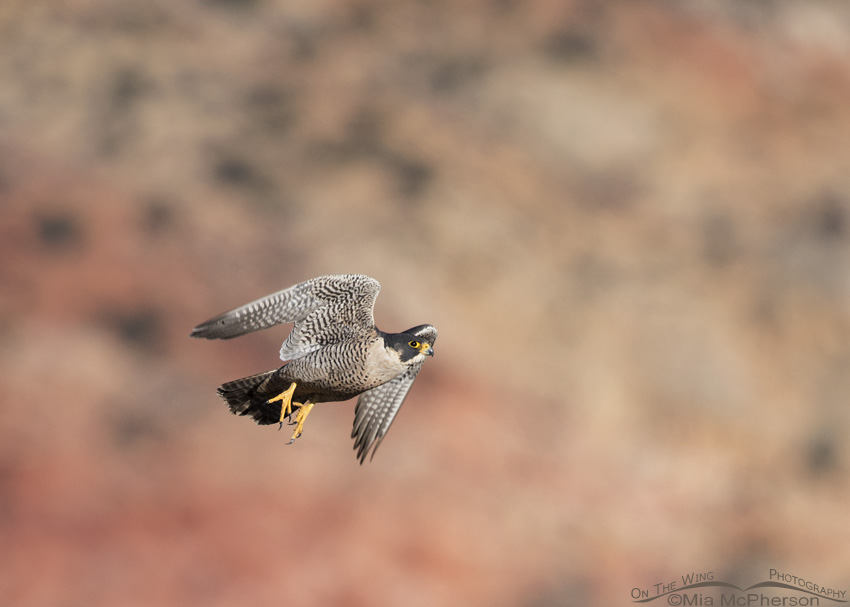 Adult Peregrine Falcon in flight with a sandstone background