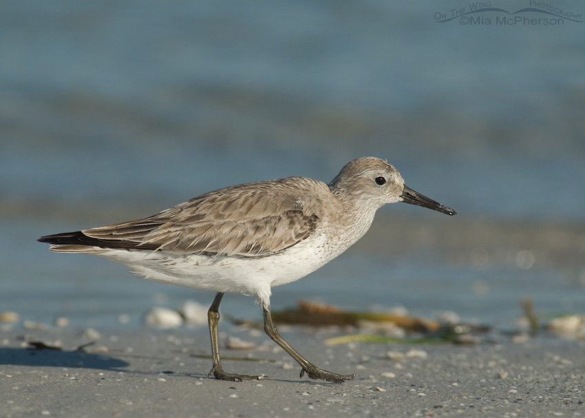 Fort De Soto Red Knot