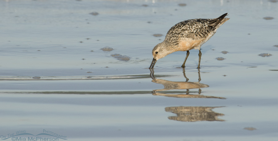 Red Knot reflection