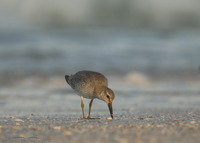 Sunrise Red Knot