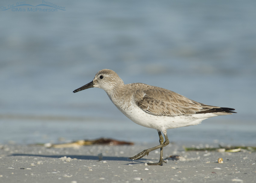 Nonbreeding plumage Red Knot