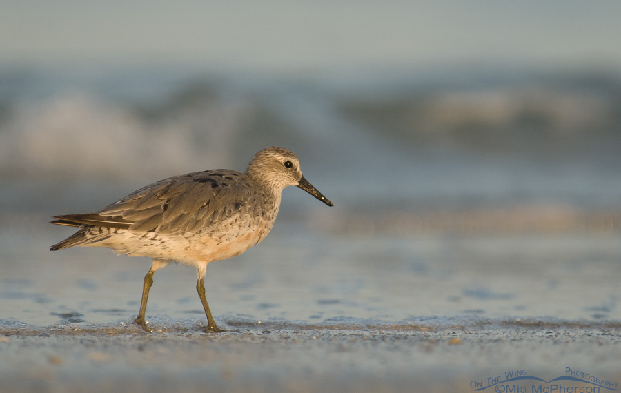 Early morning Red Knot
