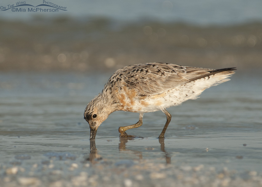 Injured Red Knot