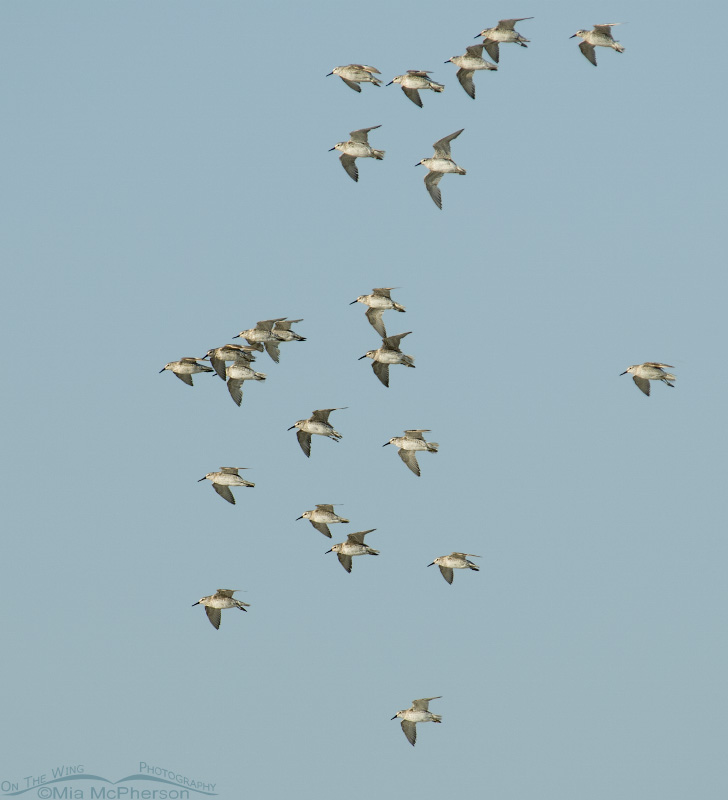 Red Knot flock in flight