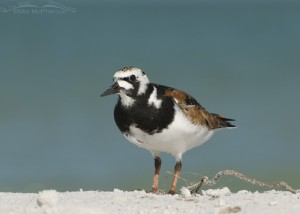 A curious Ruddy Turnstone