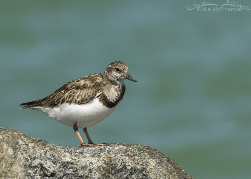Ruddy Turnstone on rock