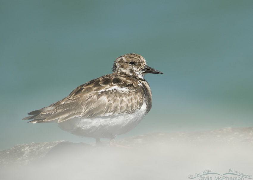 Ruddy Turnstone with sea mist