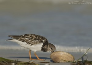 Ruddy Turnstone with clam shell