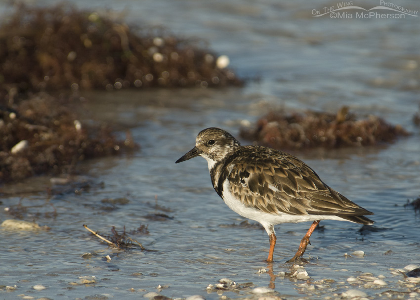 Honeymoon Island Ruddy Turnstone