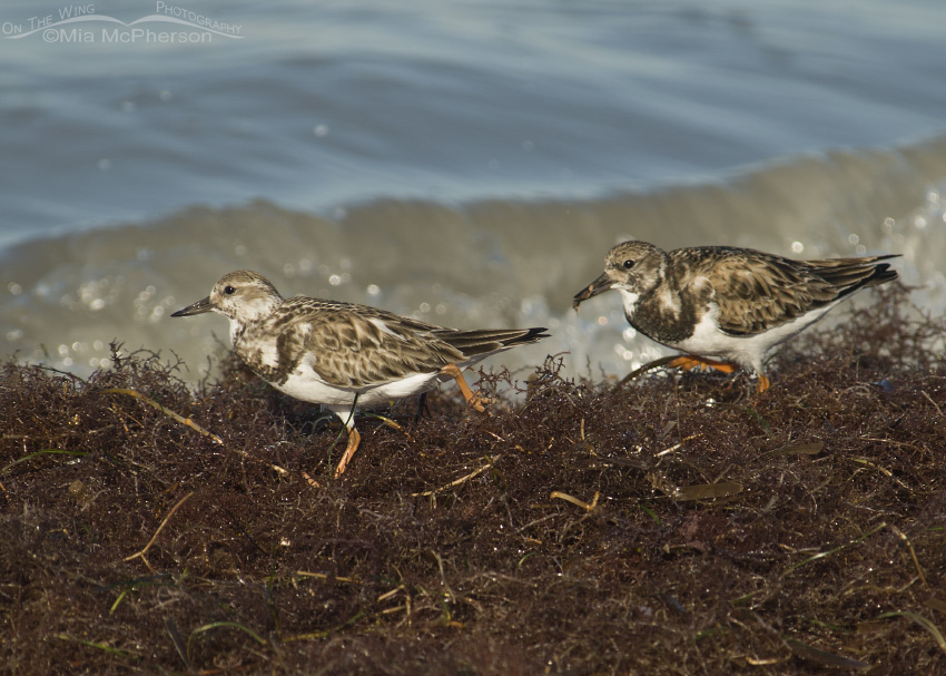 Ruddy Turnstone territorial behavior on feeding ground