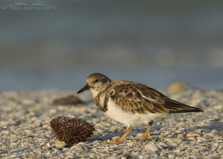 Sea Urchin with Ruddy Turnstone