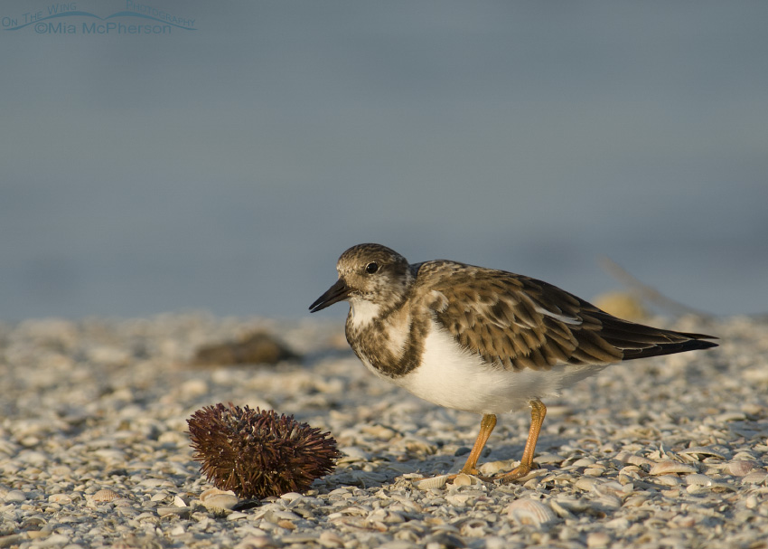 Ruddy Turnstone feeding on Sea Urchin