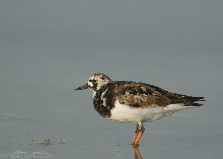 Ruddy Turnstone in calm lagoon