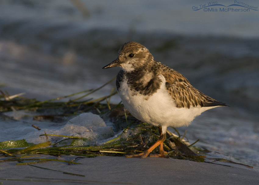First light Ruddy Turnstone