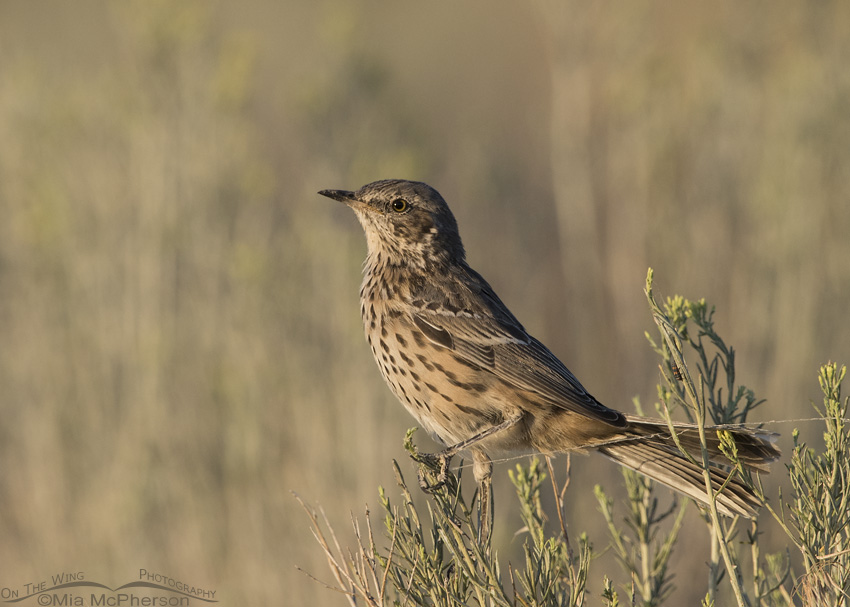 A Sage Thrasher in golden light