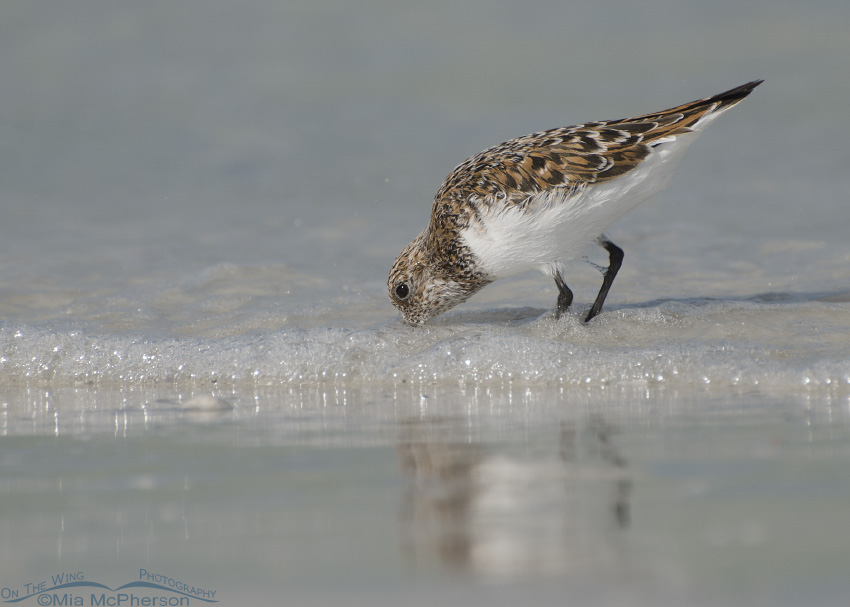 Sanderling nearly in breeding plumage