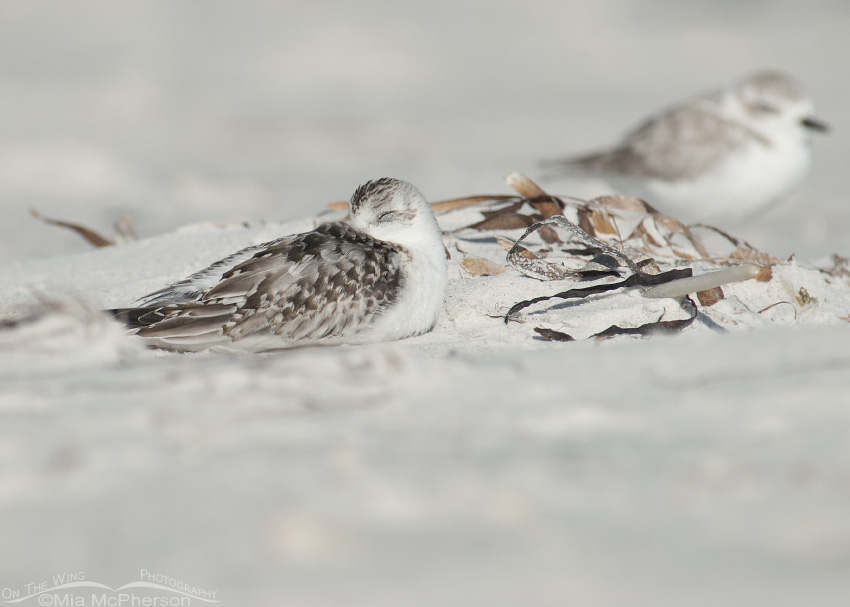Sleeping juvenile Sanderling