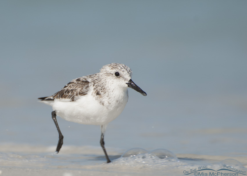 Sanderling racing the waves