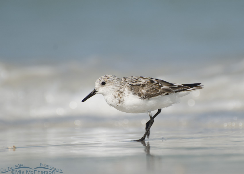 Sanderling speeding by