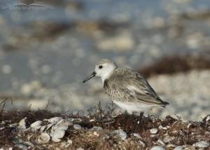 Sanderling and seashells