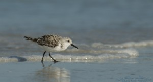 Scurrying Sanderling