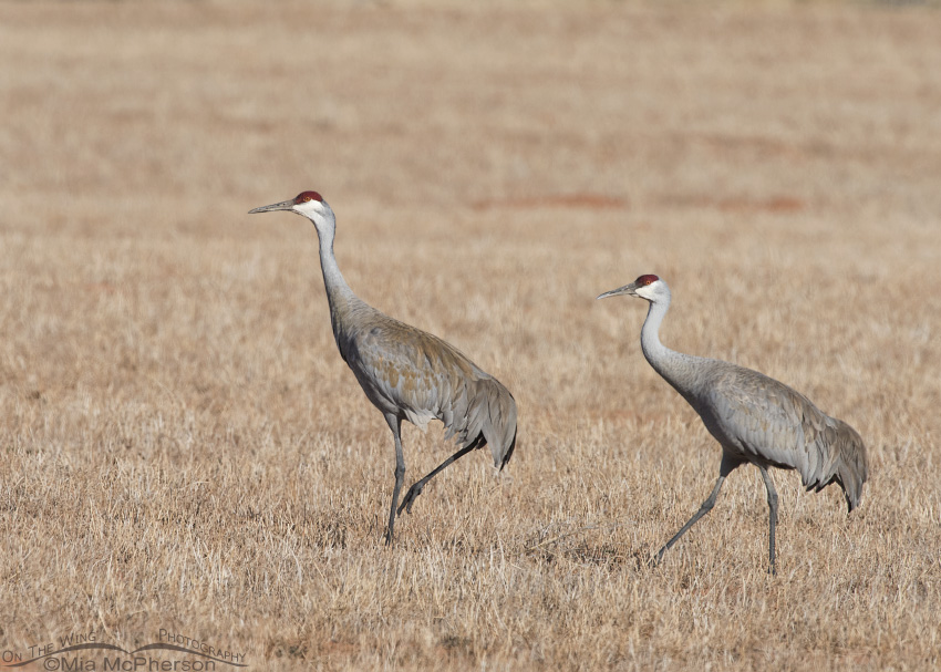 A pair of Sandhill Cranes in Wayne County