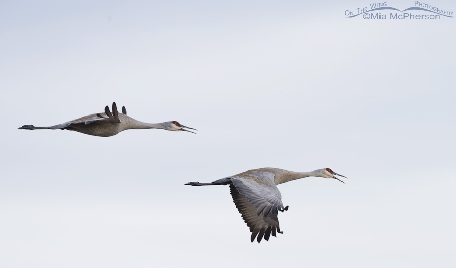 A pair of Sandhill Cranes calling while in flight