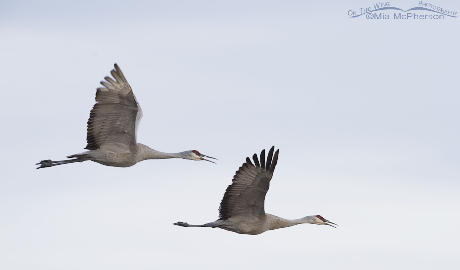 Sandhill Cranes in late evening flight