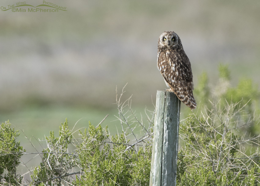 A Short-eared Owl in Tooele County