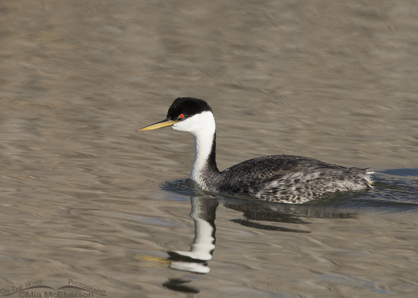 Early spring Western Grebe