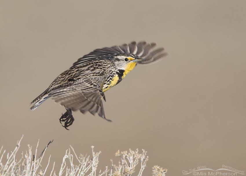 Western Meadowlark Take Off