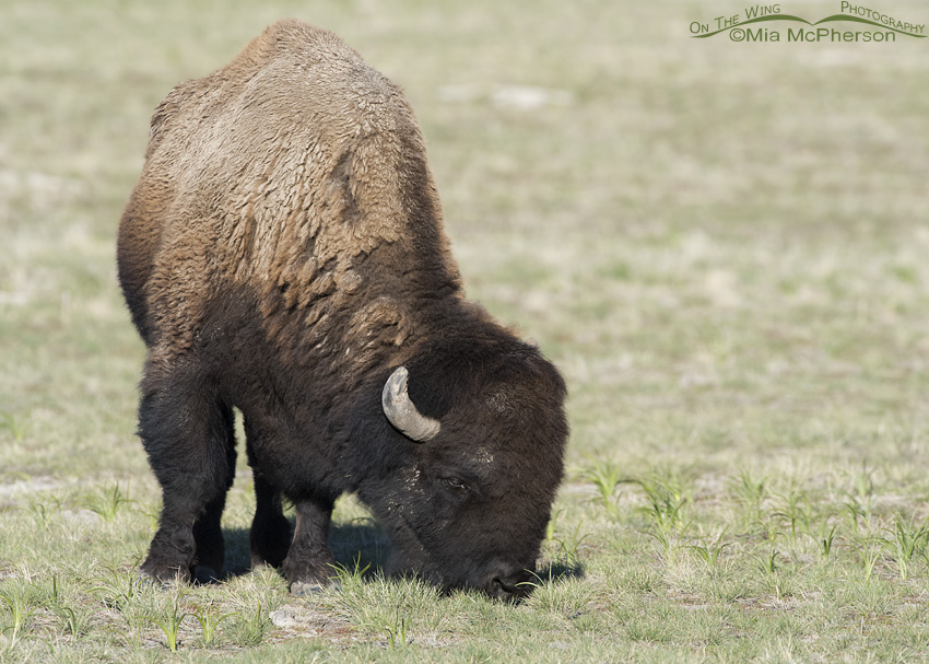 American Bison bull grazing on fresh grass