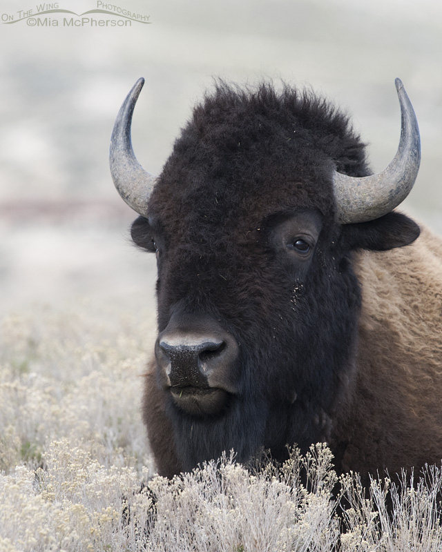 American Bison bull at rest