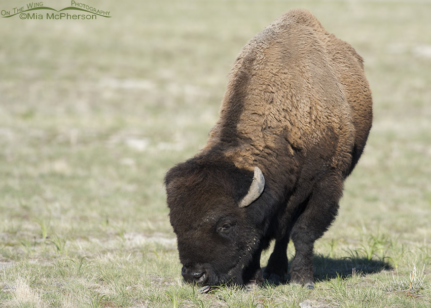 Bison Bull showing sun bleached winter coat