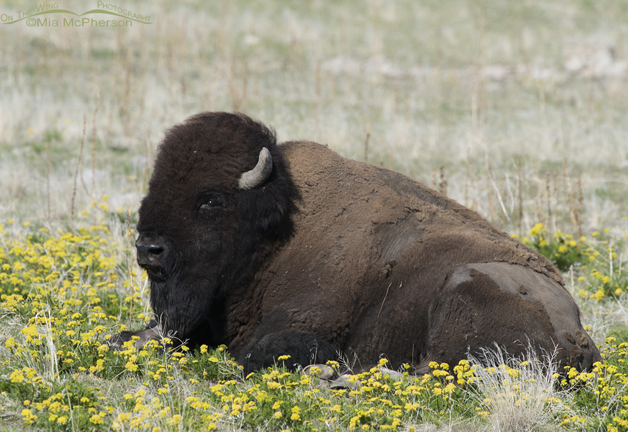Bison Bull resting in wildflowers