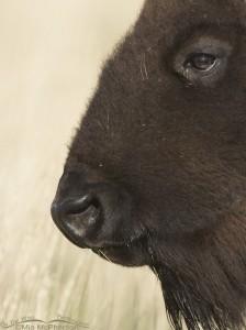 A Bison's Eye