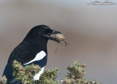 Juvenile Black-billed Magpie with Praying Mantis egg case