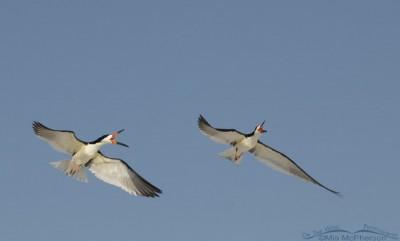 Black Skimmer aerial chase