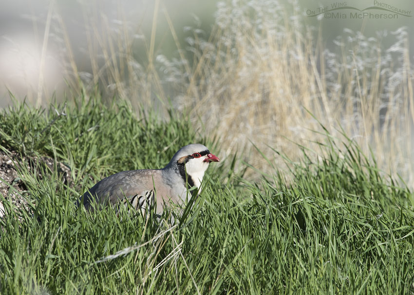 Chukar eating grass