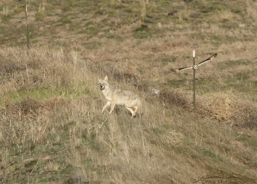 Short-eared Owl attacks Coyote