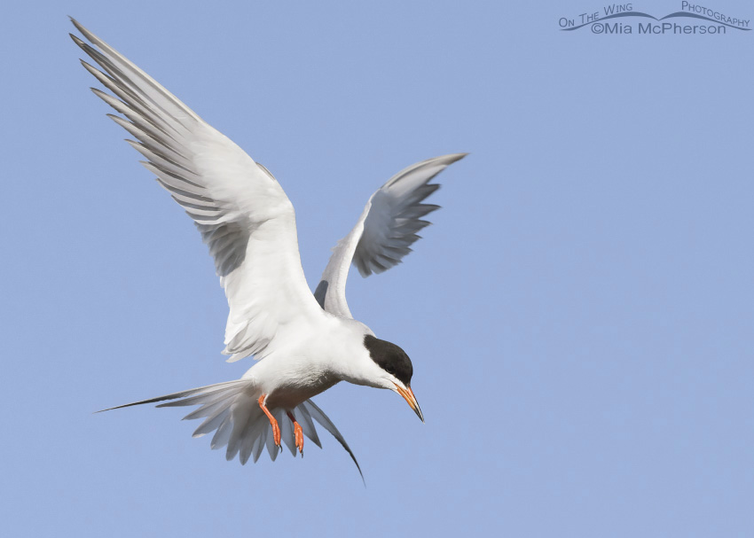 Forster's Tern hovering over prey