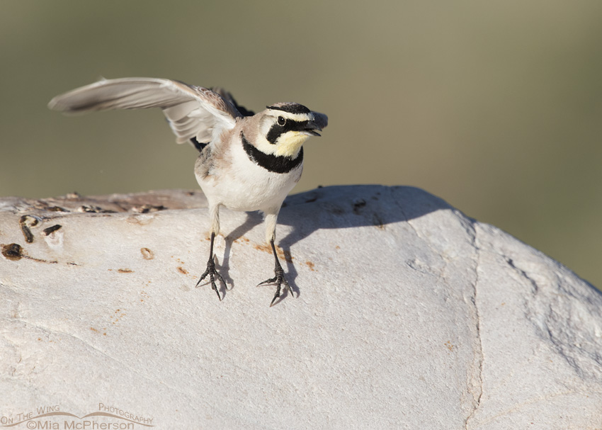A startled Horned Lark